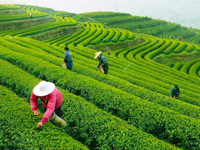 Výsledek obrázku pro čajovník čínský