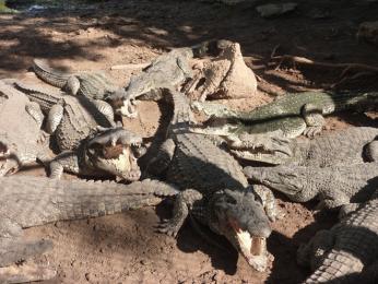 Na krokodýlí farmě