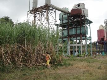 Vysoká stébla cukrové třtiny spozůstatkem rafinerie na výrobu cukru vpozadí