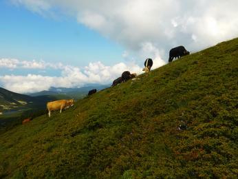 Stádo krav během přechodu přes Prevalski Chukar