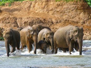 Slon indický cejlonský