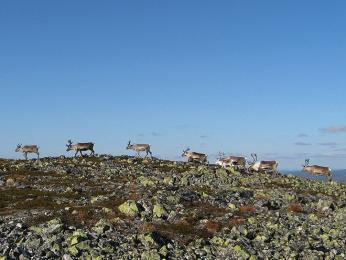 Ve volné přírodě lze bez problému potkat stádo sobů