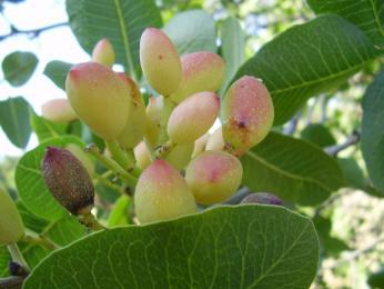 Podnebí je vhodné například kpěstování mandlí