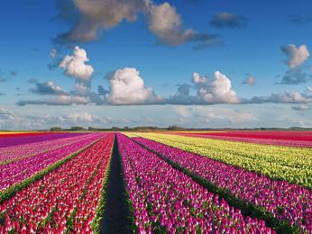 Tulipánové pole poblíž Keukenhofu
