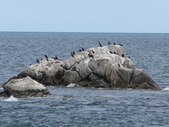 Kolonie kormoránů velkých vDublinském zálivu