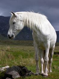 Ryzí irské koňské plemeno Connemarský pony