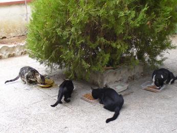 Kočky jsou divoké a najdete je především vpopelnicích vybírat odpadky