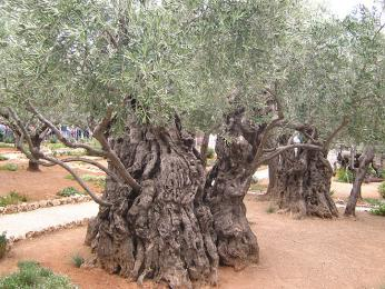 Starý olivovník vGetsemanské zahradě
