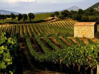 Patrimonio obklopují vinice