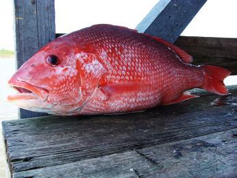 Chňápal červený (pargo) patří koblíbeným druhům ryb