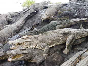 Krokodýlí farma vBoca de Guamá