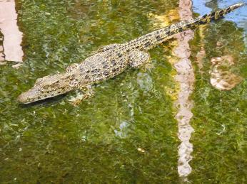 Krokodýl kubánský je na Kubě endemickým druhem