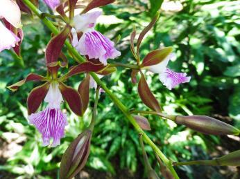 Na Kubě se hojně vyskytují orchideje