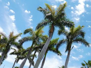 Kubánský národní strom palma královská