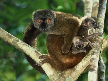 Lemuři – turisty nejvyhledávanější objekt Madagaskaru