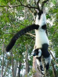 Vari černobílý je jedním z mnoha madagaskarských lemurů
