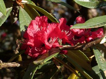 Kvetoucí rododendrony vjarním Nepálu