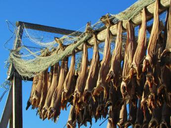 Tradiční způsob sušení tresek pouze za pomoci slunce avětru