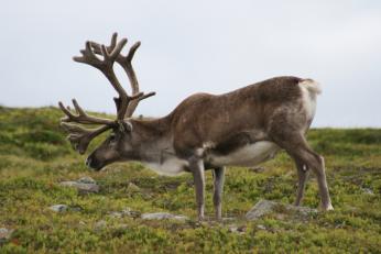 Sob je nejběžnějším obyvatelem norských hor a laponských plání