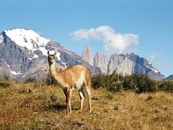 Lama guanaco v NP Torres del Paine