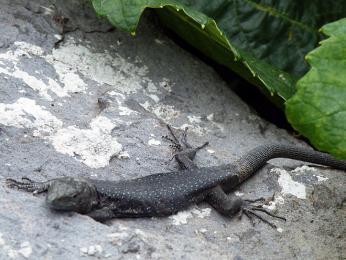 Zvědavých ještěrek vyhřívajících se na sluníčku je vPortugalsku nespočet