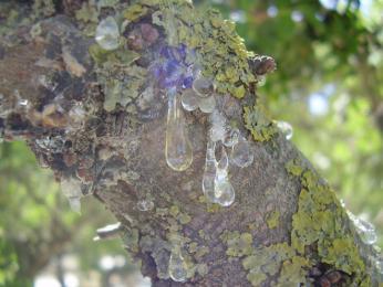 Tzv. masticha neboli pryskyřice, je místní poklad ostrova Chios