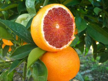 Pěstování citrusů na Sicílii zavedli Arabové