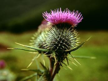 Skotskou národní květinou je bodlák