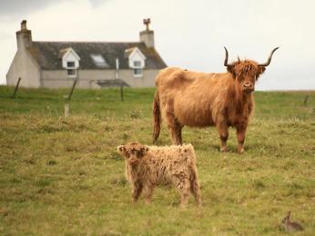 Majestátní chlupaté krávy Highlandcattle