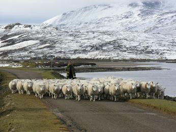 Cestu vám často zkříží stádo ovcí