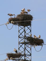 Čapí hnízda na stožáru vysokého napětí