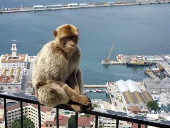 Opice Makak magot Gibraltar