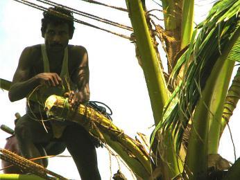 Sběr palmové mízy na výrobu palmového vína Toddy