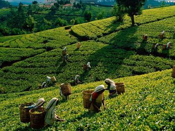 Srí Lanka je čtvrtým největším producentem čaje na světě