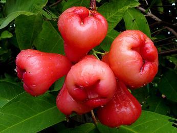 Růžové jablko je plod hřebíčkovce vonného
