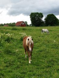Mladí Švédi se často stěhují na venkov právě kvůli chovu koní