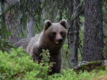 Medvěd hnědý je rozšířený hlavně vneobydlených a těžko přístupných oblastech