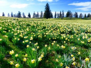 Voblasti Tête de Ran můžete spatřit záplavu žlutě rozkvetlých narcisů