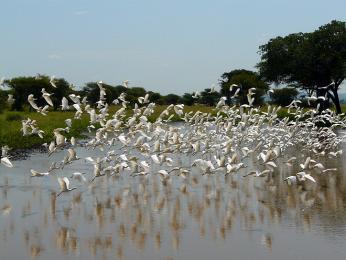 Hejno volavek bílých v NP Tarangire