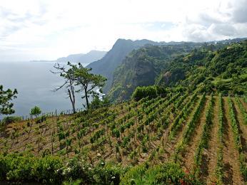 Vinice na pobřeží Madeiry se nacházejí ve výšce 0až 900m nad mořem