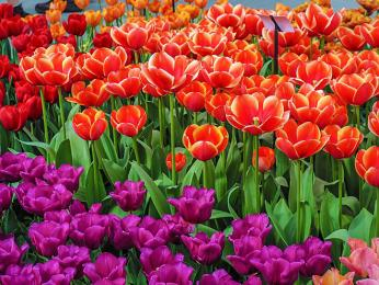 V Holandsku tulipány hrají všemi barvami