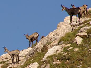 Kamzíci žijí v nejvyšších horských polohách