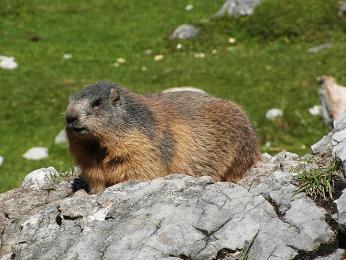 V Alpách žije početná populace svišťů horských