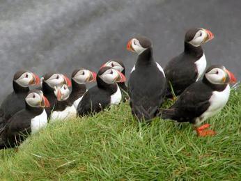 Papuchalků žijí na Islandu statisíce