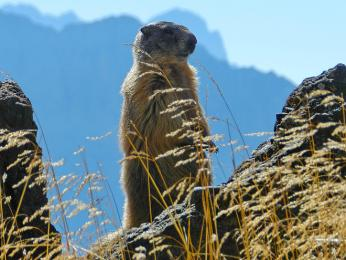 Svišť horský je doma i v Dolomitech