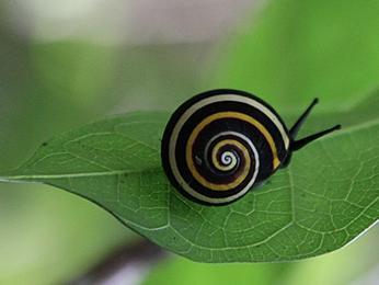 Nádherně zbarvený šnek rodu polymita je endemit, který žije pouze na Kubě