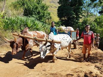 Hrbatí zebu jsou na Madagaskaru neocenitelnými pomocníky
