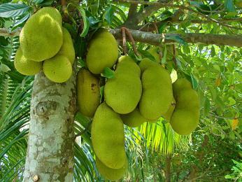 Žakie patří mezi vůbec největší ovoce na světě