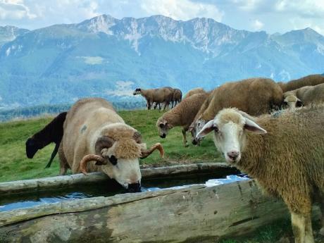Ovce pasoucí se na salaších Štavna vpohoří Komovi