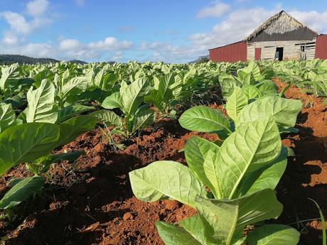 Tabáková plantáž, kde se pěstuje ten nejkvalitnější kubánský tabák